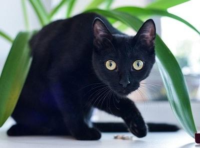 Странная черная кошка