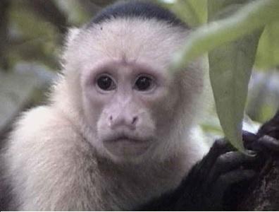 Происки белых обезьянок