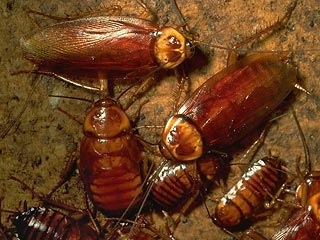 Тараканы-мутанты из лагерной столовой