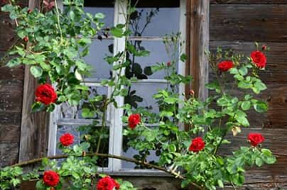 Окно с розой
