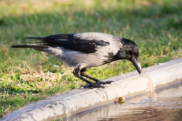 Птицы несущие беду Приметы  картинка