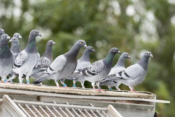 Приметы про голубей Приметы  картинка